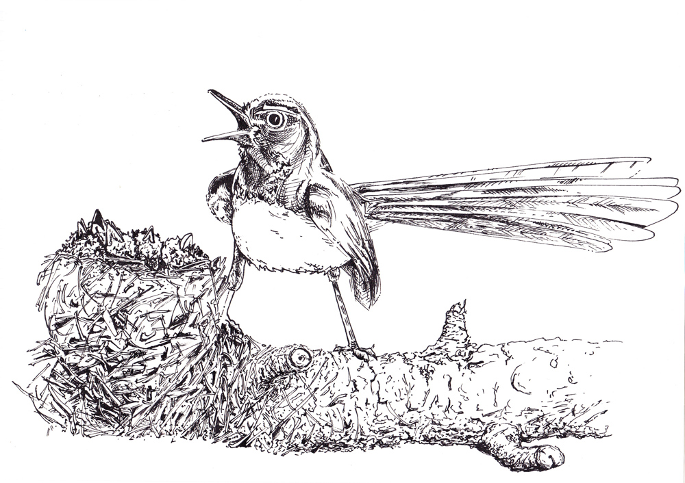 2013_Drawing_WillyWagtail2